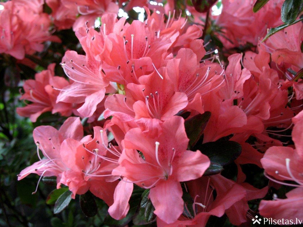 Acāliju ziedēšana: Botāniskais dārzs rīko īpašu ekskursiju