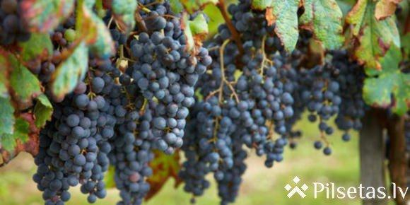 Праздник вина в Сабиле
